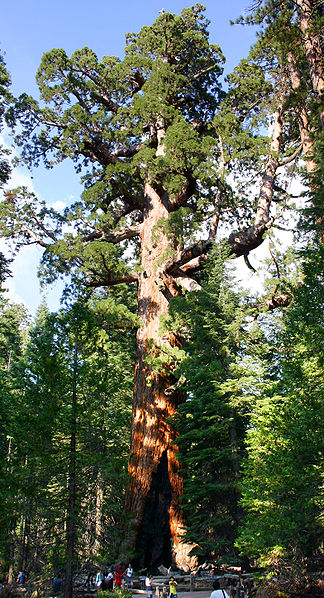 324px-Grizzly Giant Mariposa Grove